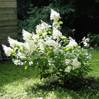 Hydrangeas in My Yard: The Paniculatas