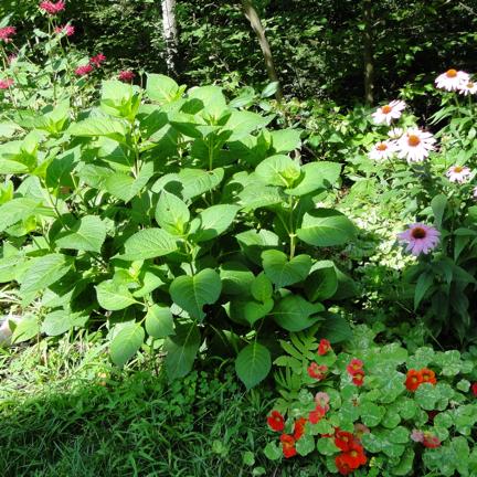 hydrangea shrub