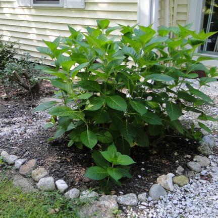 hydrangea perennial
