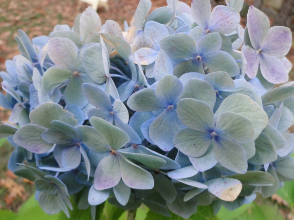 blue hydrangea in fall