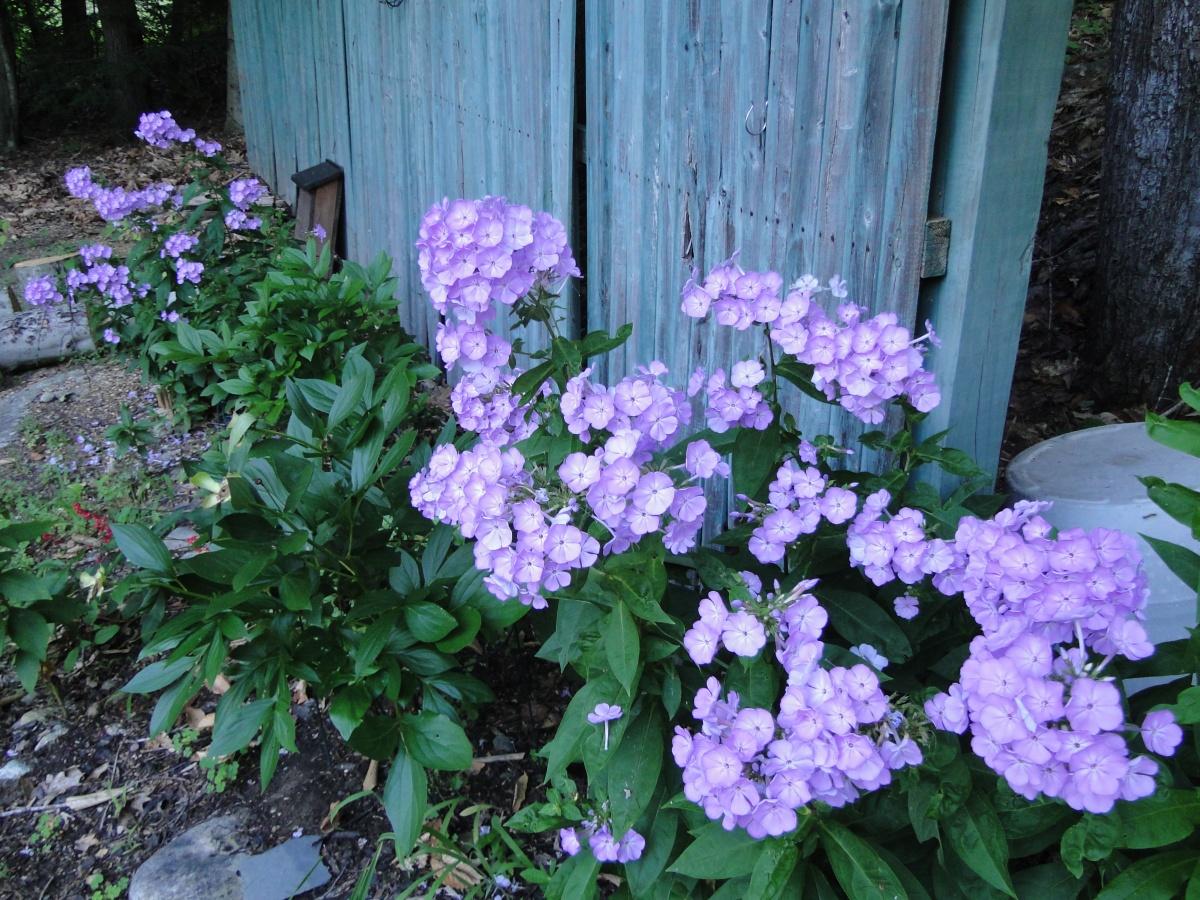 lavender purple phlox
