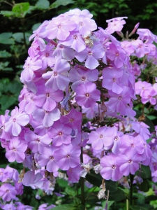 tall phlox in pink