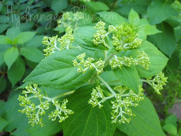 panicle hydrangea limelight