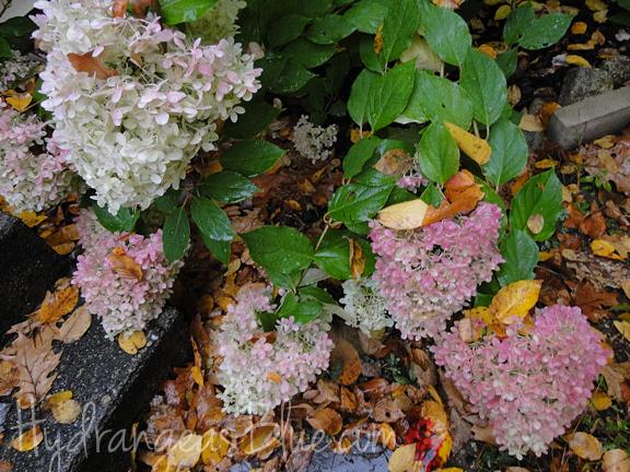 limelight fall flowers