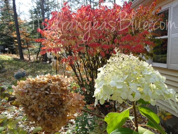 fall hydrangeas - limelight