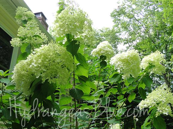 limelight hydrangea flowers