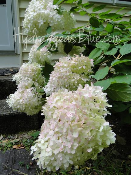 cone shaped limelight hydrangea flowers