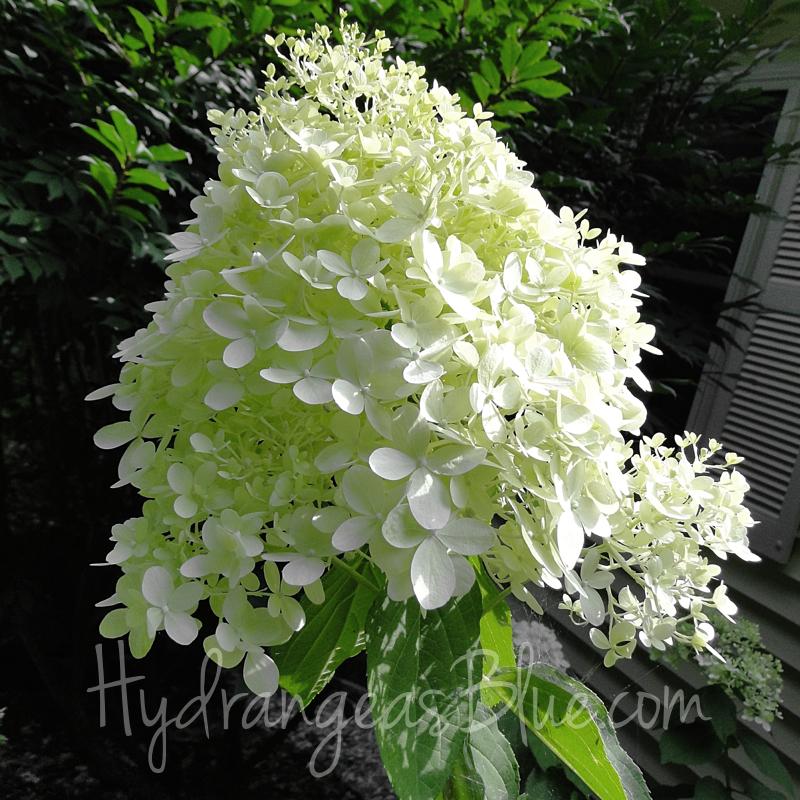 limelight hydrangea flower
