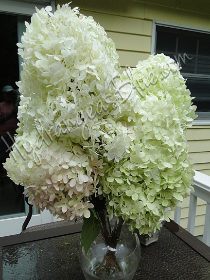 Stages Of The Limelight Hydrangea Flower Hydrangeas Blue