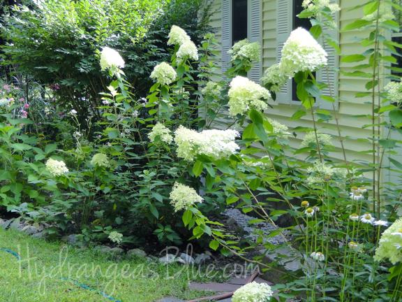 white limelight hydrangea
