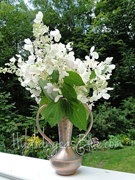white hydrangea pinky winky in vase