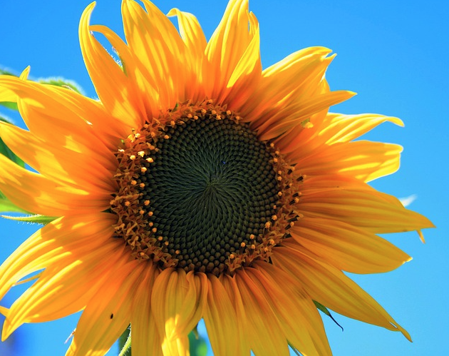 sunflower sky photography