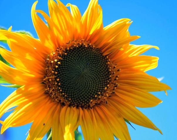 sunflower sky photography