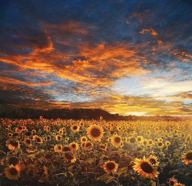 sunflower sunset landscape