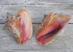 seashells pink conch