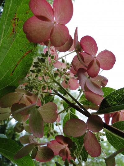 pink hydrangea macro
