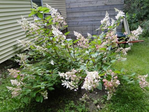 hydrangea paniculata pinky winky