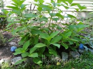 hydrangea last summer