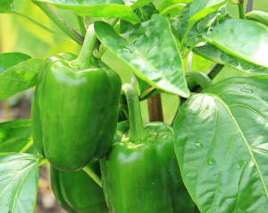 growing green peppers in florida