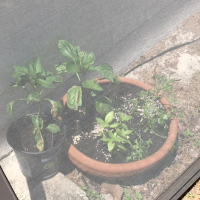 How to Grow Green Peppers in Florida, That's My Question!