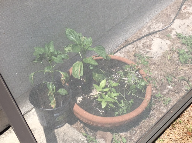 peppers in pots
