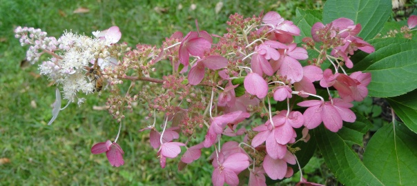 Paniculata Variety Cone Shaped Flowers Hydrangeas Blue