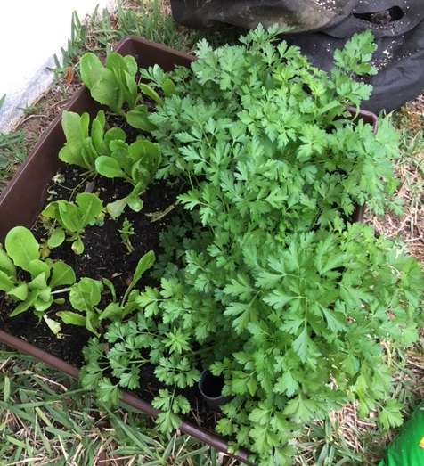 parsley and lettuce