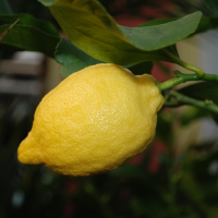 Growing a Meyer Lemon Tree