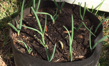 growing scallions