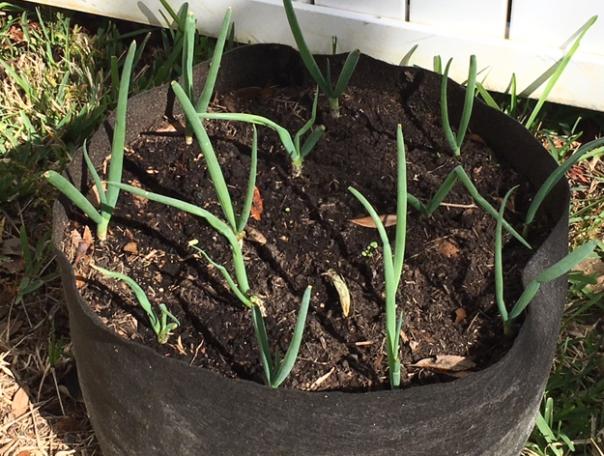 growing scallions
