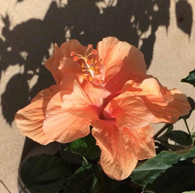 orange flowering hibiscus