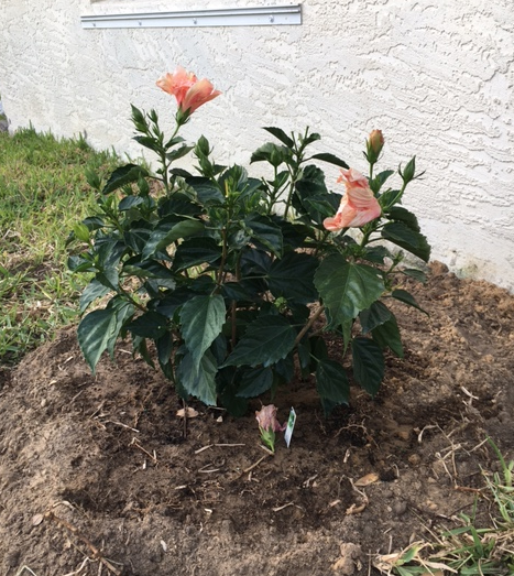 orange hibiscus shrub