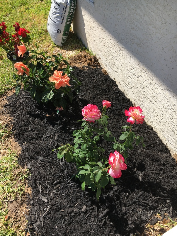 hibiscus and rose bush