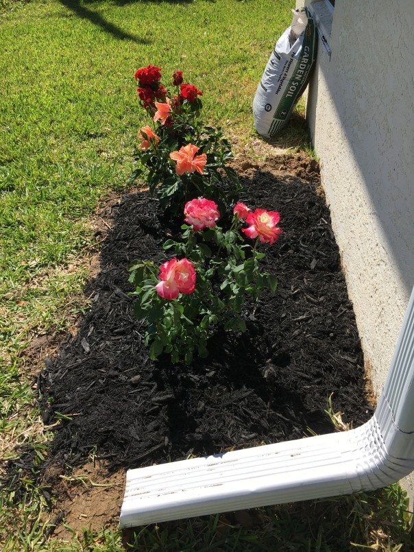rose bush and hibiscus