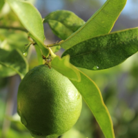 Wondering When my Persian Lime Tree Will Bear Fruit