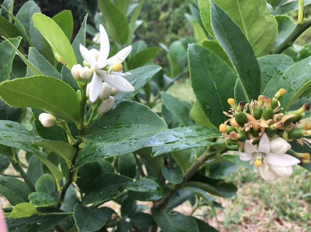 Persian lime flowering
