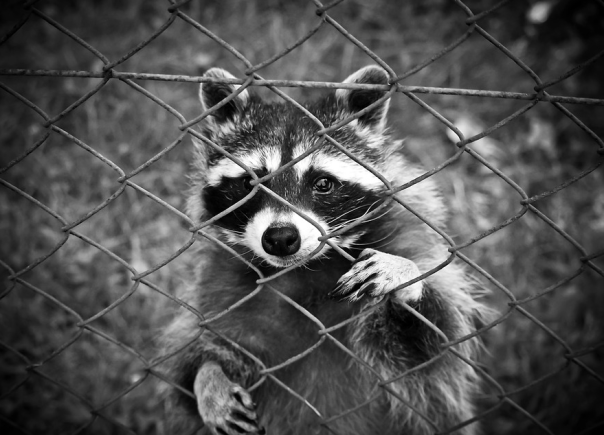 raccoon and chain link fence