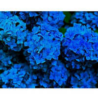 5 Free Pictures of Blue Hydrangeas
