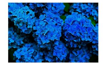 blue hydrangeas poster
