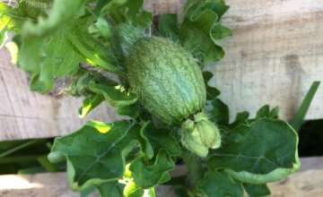 tiny watermelon on the vine
