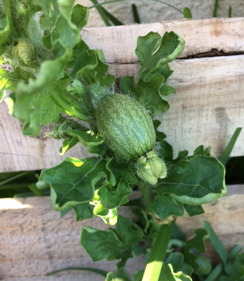 tiny watermelon on the vine