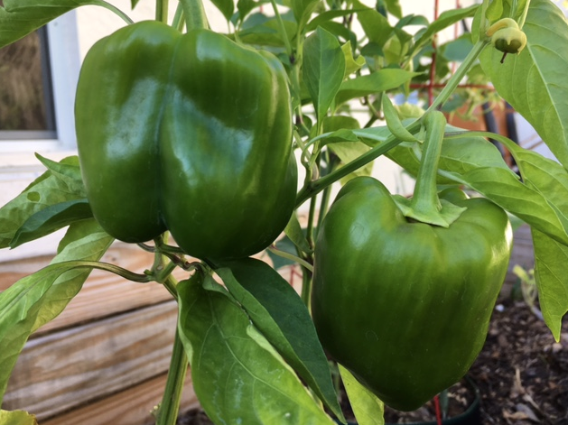 green bell peppers growing