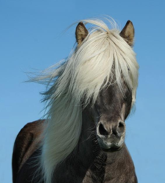 black horse with long white mane
