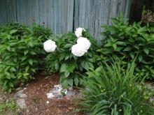 Peony Flower Garden