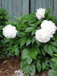 White Peony plant