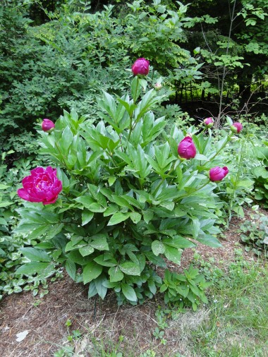 peony plant flower