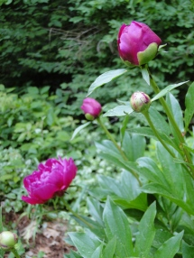 Dark pink peony buds and blooms