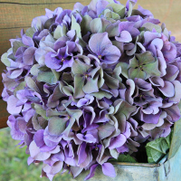 Multi-Color Hydrangea Blooms