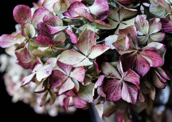 dried green and purple hydrangea flower