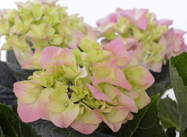 pink bud of the hydrangea